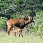 Sable antelope of at shimba Hills