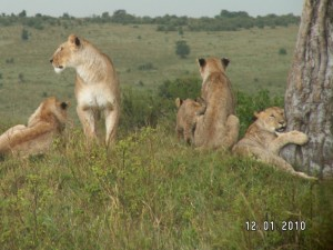 safari to Kenya-Pride of lions