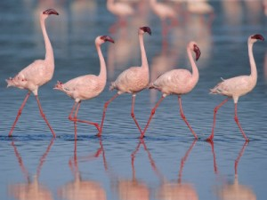 Flamingos at Lake Nakuru A World heritage site