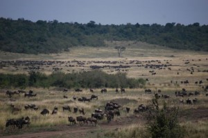 Kenya Safari -Wildebeast at the Masai Mara