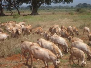 Goats at Gicheha Farm