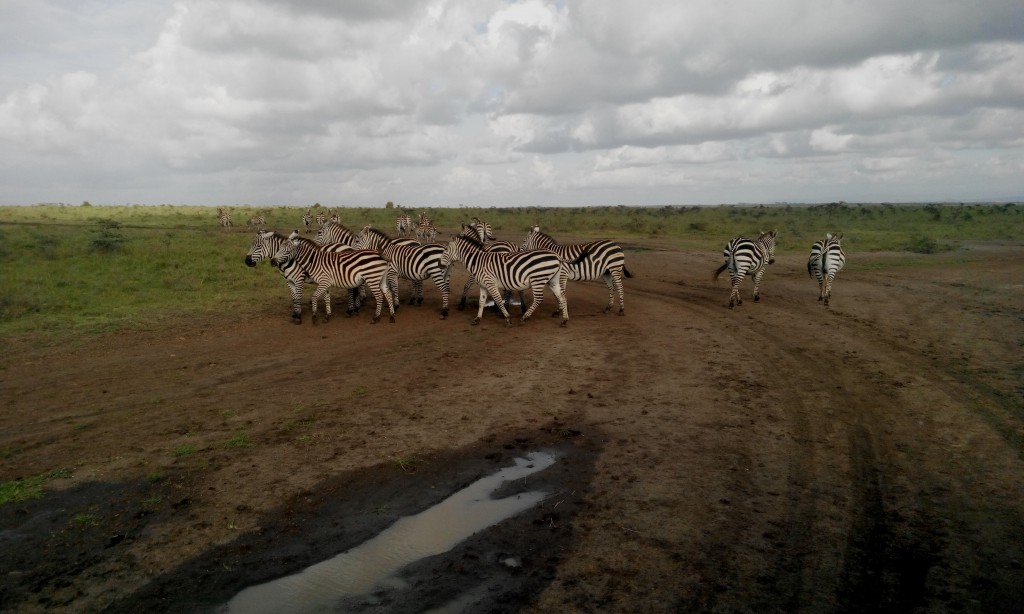 Herds of Zebra can be found across the Park